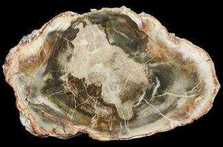 "Buy 8"" Petrified Wood (Araucaria) Round - Madagascar  - #71833"