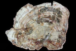"10.4"" Colorful Petrified Wood (Araucaria) - Madagascar  For Sale, #71882"
