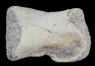 "Buy 2.6"" Hadrosaur Toe Bone - Alberta (Disposition #000028-29) - #71653"