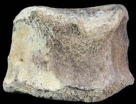 "3.1"" Hadrosaur Toe Bone - Alberta (Disposition #000028-29) For Sale, #71663"