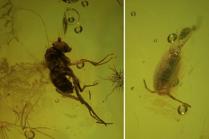 Fossil Springtail (Collembola) & Fly (Diptera) In Baltic Amber