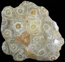 "Buy 4.2"" Polished Fossil Coral Head - Morocco - #72316"