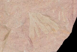 Cretaceous Fossil Ginkgo Leaf - Russia For Sale, #72431