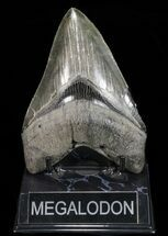 Carcharocles megalodon - Fossils For Sale - #72798