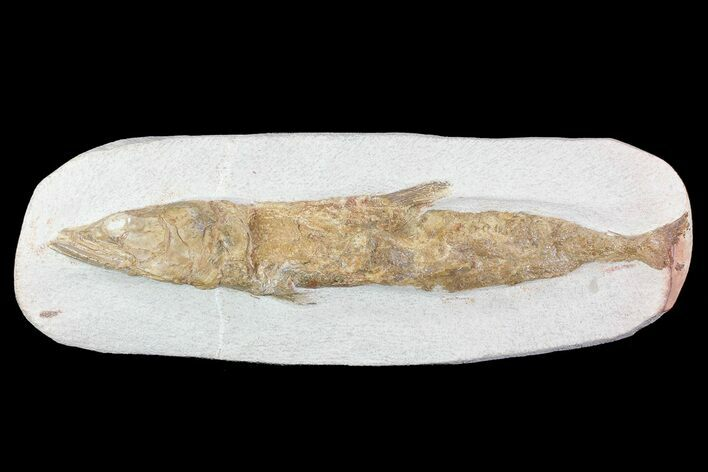 "12"" Detailed & 3D Fossil Fish - Goulmima, Morocco"