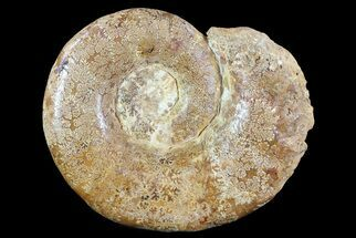 Euaspidoceras - Fossils For Sale - #72882