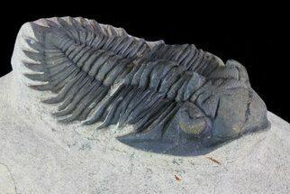 Metacanthina issoumourensis - Fossils For Sale - #73023