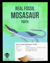 Mosasaur - Fossils For Sale - #73101
