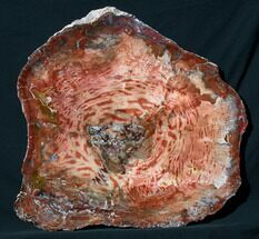 "Brilliant Red Petrified Wood Tabletop - 31x29.2"" For Sale, #73202"
