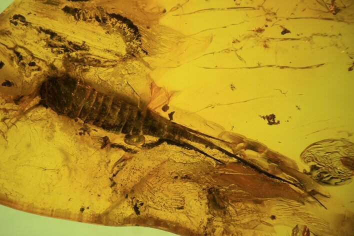 Phenomenal Fossil Bristletail (Archaeognatha) In Baltic Amber