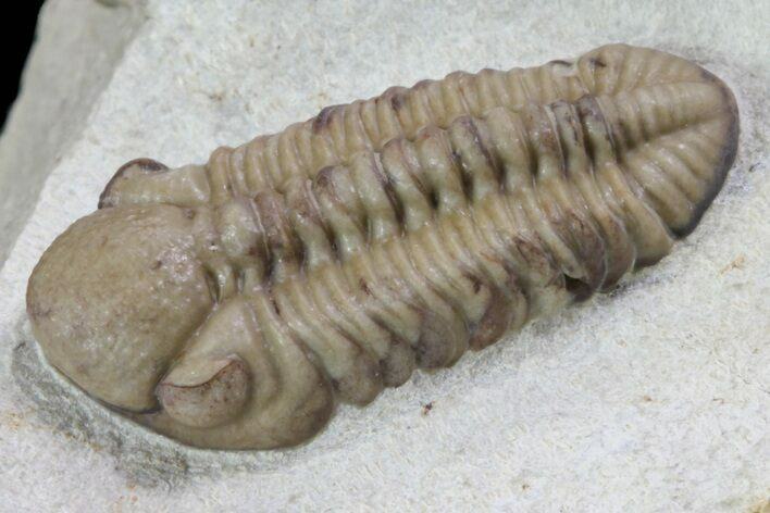 ".8"" Kainops Trilobite - Black Cat Mountain, Oklahoma"