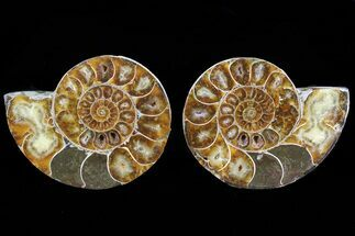 Anapuzosia - Fossils For Sale - #72957