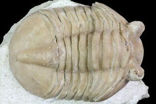 "Uncommon, 1.8"" Asaphus bottnicus Trilobite - Russia For Sale, #73511"