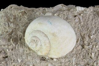 Eocene Fossil Gastropod (Globularia) - Damery, France For Sale, #73808