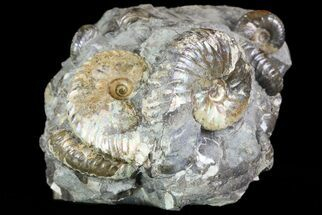 Buy Hoploscaphites Ammonite Cluster - South Dakota - #73852