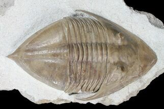 "4.1"" Rare Megistaspidella Trilobite - Russia For Sale, #74015"