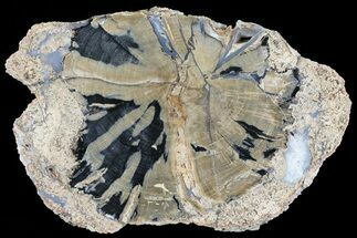 "8.2"" Petrified Wood Slice - Blue Forest, Wyoming For Sale, #74054"
