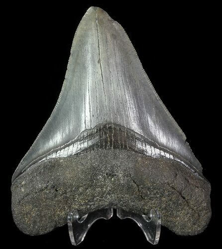 "Serrated, 4.21"" Fossil Megalodon Tooth - South Carolina"