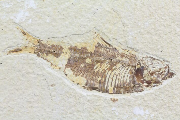 "4.3"" Knightia Fossil Fish - Wyoming"