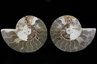 "Bargain, 5.8"" Cut & Polished Ammonite Fossil - Mud Filled For Sale, #73964"