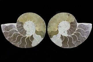 "Buy Bargain, 5.6"" Cut & Polished Ammonite Fossil - Mud Filled - #73966"