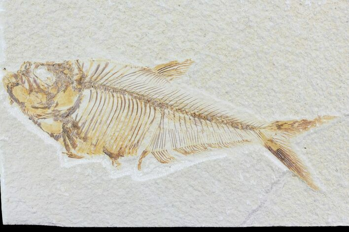 "Detailed 5.4"" Diplomystus Fish Fossil From Wyoming"