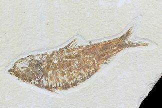 "4.1"" Knightia Fossil Fish - Wyoming For Sale, #74114"