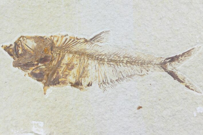 "5.4"" Diplomystus Fossil Fish - Wyoming"