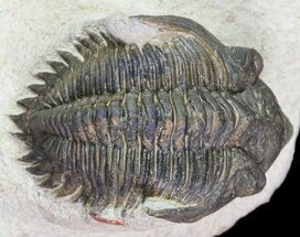 "Bargain, 1.2"" Metacanthina Trilobite - Lghaft, Morocco For Sale, #74150"