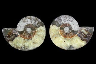 Cleoniceras - Fossils For Sale - #73968