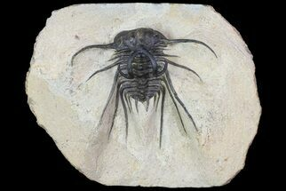 Dicranurus monstrosus - Fossils For Sale - #74160
