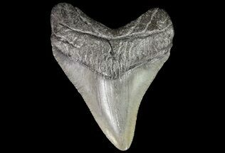 "2.44"" Juvenile Megalodon Tooth - South Carolina For Sale, #74246"