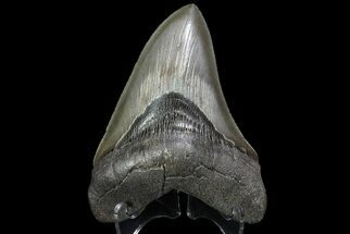 "Nice, Serrated, 4.88"" Fossil Megalodon Tooth - Georgia For Sale, #74612"