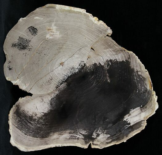 "6.2"" Petrified Wood Slab -  Sweethome, Oregon (Reduced Price)"