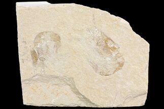 Buy Two Cretaceous Fossil Shrimp (Carpopenaeus) - Lebanon - #74545