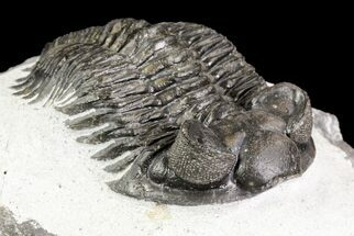"2.3"" Coltraneia Trilobite Fossil - Huge Faceted Eyes For Sale, #75458"