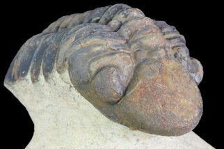"2.1"" Reedops Trilobite Fossil - Morocco For Sale, #75467"