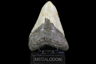 "Buy Huge, 5.81"" Fossil Megalodon Tooth - North Carolina - #75511"