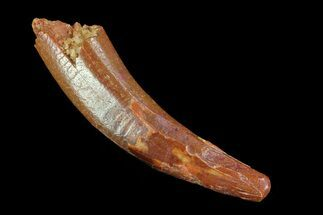 "Buy Curved, 1.19"" Pterosaur (Coloborhynchus) Tooth - Morocco - #75553"