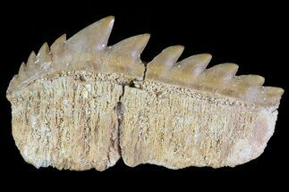 "Buy 1.5"" Fossil Cow Shark (Hexanchus) Tooth - Morocco - #72847"