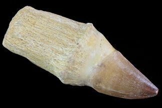 "4.1"" Rooted Mosasaur (Prognathodon) Tooth For Sale, #72866"
