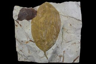 "Buy Detailed, 3.2"" Fossil Leaf (Beringiaphyllum) - Montana - #75868"