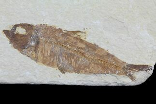 "Bargain 4"" Knightia Fossil Fish - Wyoming For Sale, #75902"