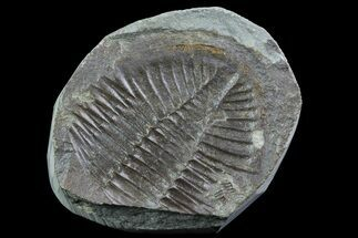 "1.4"" Partial Ogyginus Cordensis - Classic British Trilobite For Sale, #75923"