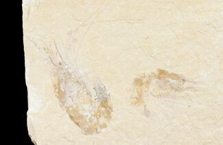 Two Cretaceous Fossil Shrimp (Carpopenaeus) - Lebanon For Sale, #74546