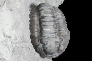 "1.18"", Partially Enrolled Flexicalymene Trilobite - Ohio For Sale, #76367"