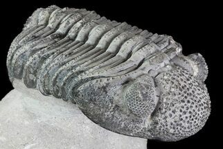 "Buy 5"" Drotops Trilobite With White Patina - Great Eyes! - #76405"