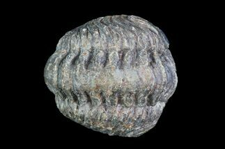 Buy Small Enrolled Acastoides Trilobite Fossil - Morocco - #76414