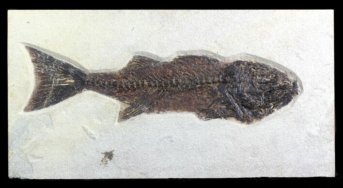 "16"" Mioplosus Fossil Fish - Green River Formation, Wyoming"