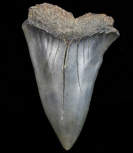 "Large, 2.52"" Fossil Mako Shark Tooth - Georgia"